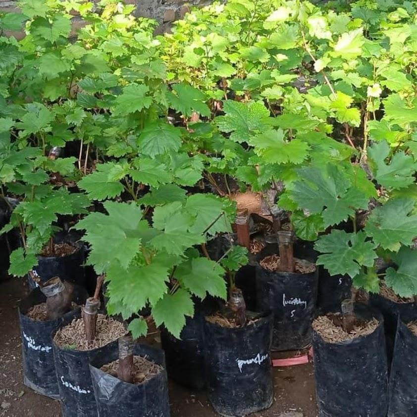bibit buah anggur Ara 15 asli valid Jawa Tengah