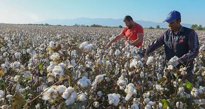 বাংলাদেশে তুলা উৎপাদনের ইতিহাস ও ধ্বংসের কারণ | Cotton Fibres