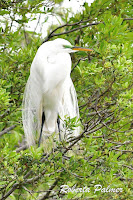 Great egret, breeding plumage   Jekyll Island, GA, Roberta Palmer