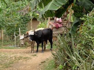 Baracoa, Kuba, Ochsen mit Joch ziehen einen Wagen.