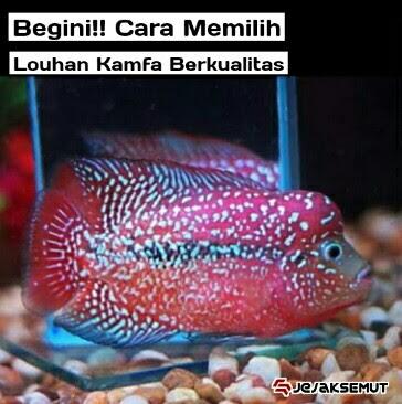 ciri ciri ikan louhan kamfa berkualitas