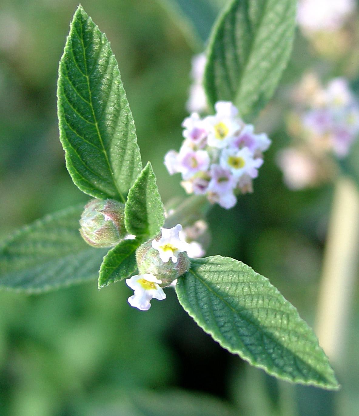 Medicinal Plants at Pura Vida Spa & Yoga Retreat: Lemon ...