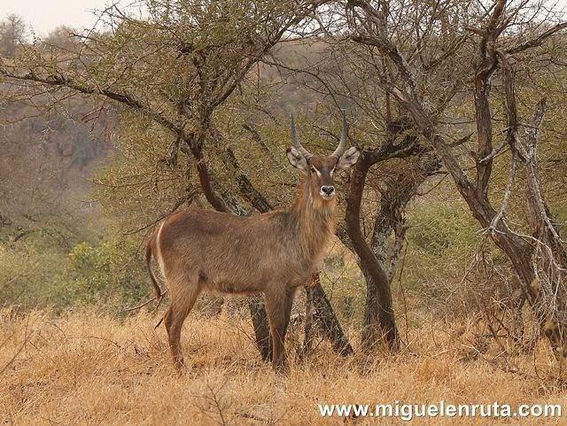 Kudu-Satara-Kruger
