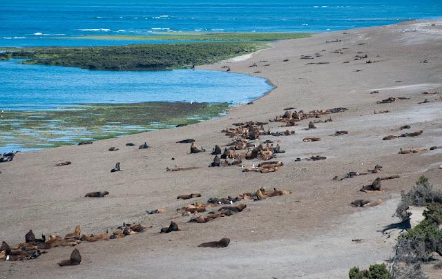 Sea lions, Península Valdés, Argentina
