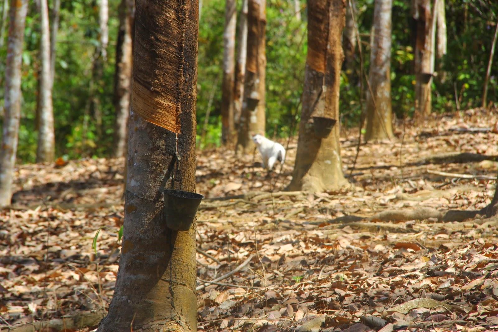 Pokok Getah