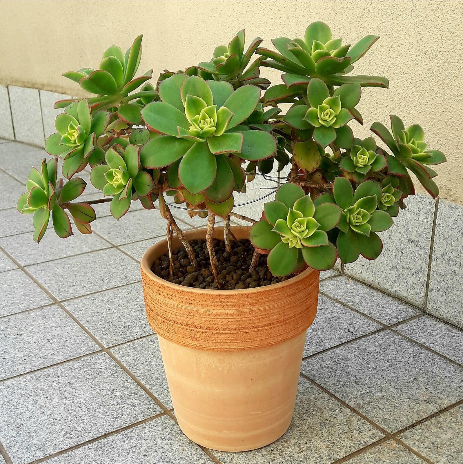 plantas suculentas  aeonium