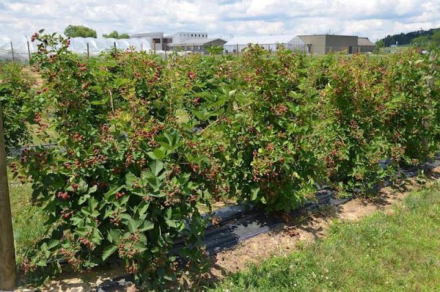 kebun blackberry