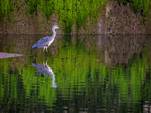 Photo of one of the two smaller herons fishing at the bottom of the slipway