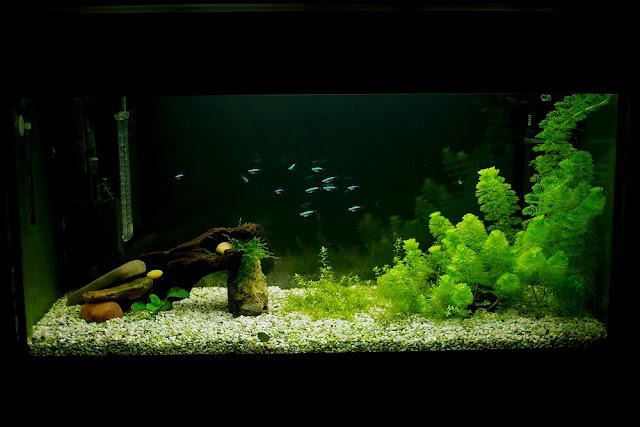 neonki w akwarium
