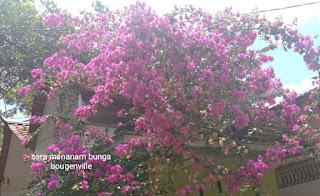 Cara menanam bunga bougenville