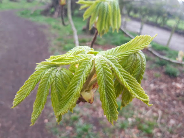 Image shows bright green horse chestnut leaves unfurling.  In the background is a woodland path.