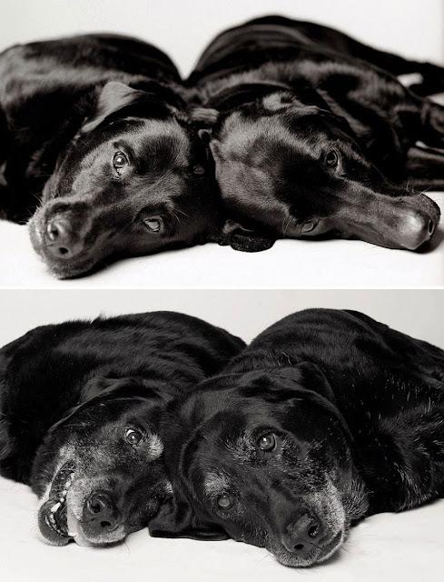 2 labradores antes y después