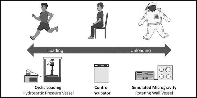The spectrum of mechanical loading conditions applied to articular cartilage in the synovial joint. At one end of the spectrum, articular cartilage is subjected to cyclic hydrostatic pressure when an individual walks or runs. Alternatively, astronauts on long-term space missions experience mechanical unloading within their joints. To simulate these conditions experimentally, loading can be simulated using a hydrostatic pressure vessel and unloading can be simulated in a rotating wall vessel bioreactors. Courtesy of Aerospace Medicine and Human Performance.