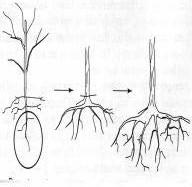 Gambar Tahapan pembuangan akar