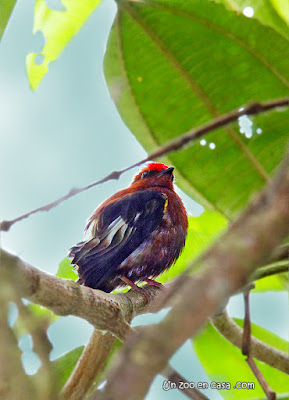 Club-winged manakin (Machaeropterus deliciosus)