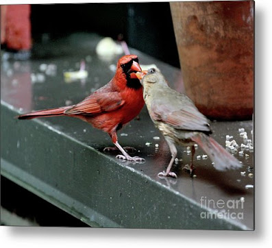This is a screen shot of a photograph rendered on metal and available via Fine Art America. It features a male cardinal (left) feeding a female cardinal (right). Info re this print is @ https://fineartamerica.com/featured/cardinal-love-2-patricia-youngquist.html?product=metal-print