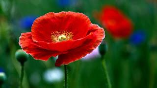 Цветок имени Евгения - мак