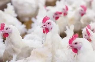 Bird Flu: FG destroys over 329,000 chickens in 62 farms