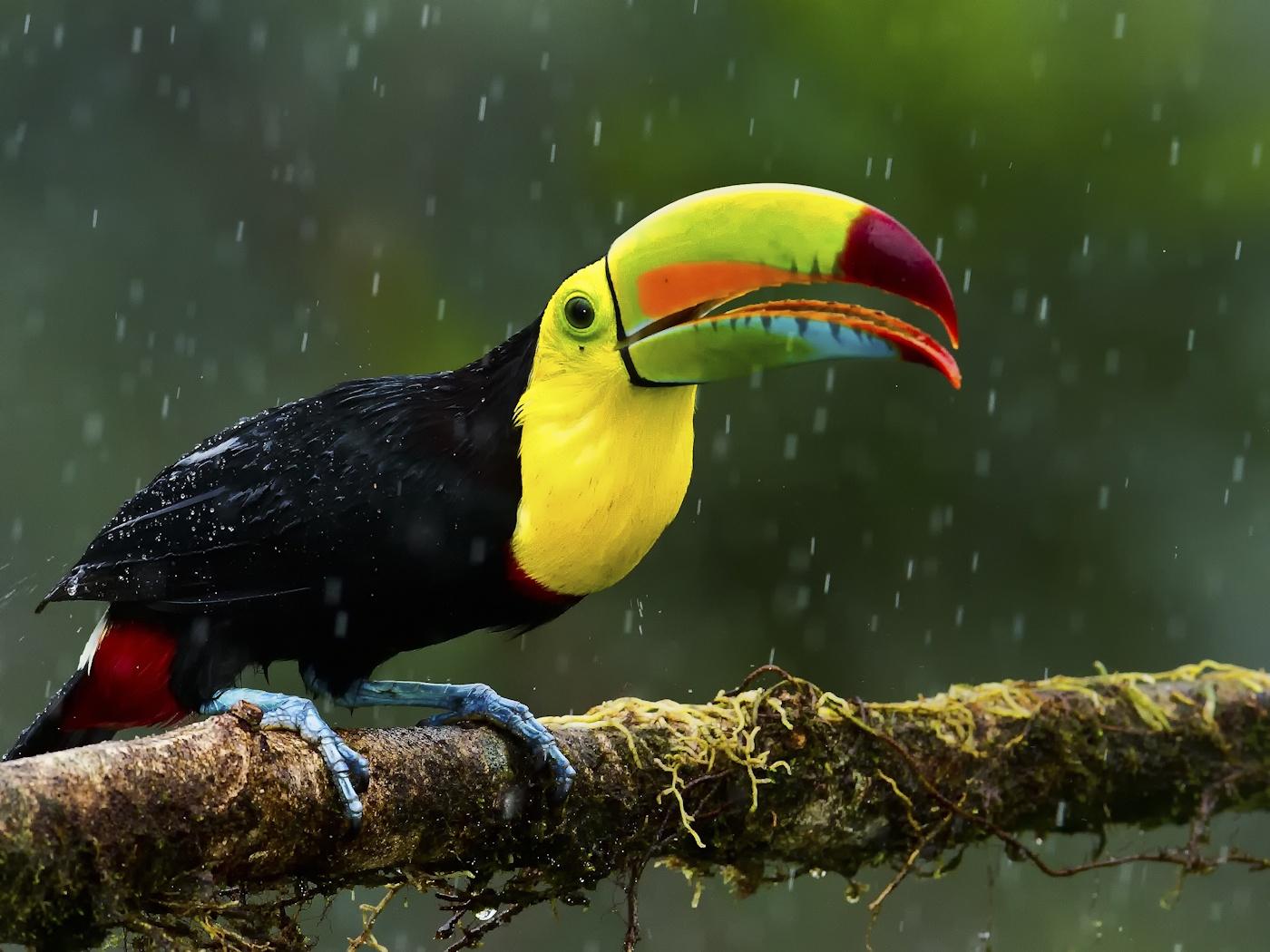 Keel-billed Toucan   Earth Blog