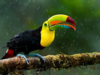 Keel-billed Toucan 13