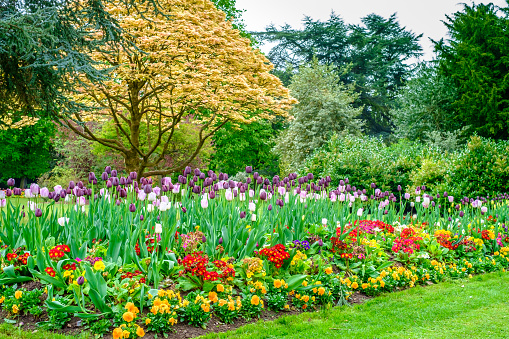 picturesque tulips can be seen cannon hill park birmingham springtime