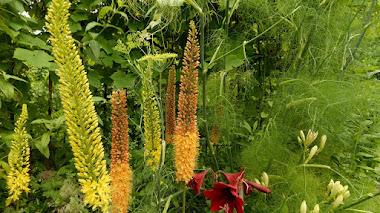 Eremurus, un género de plantas con esbeltas espigas florales al final de la primavera