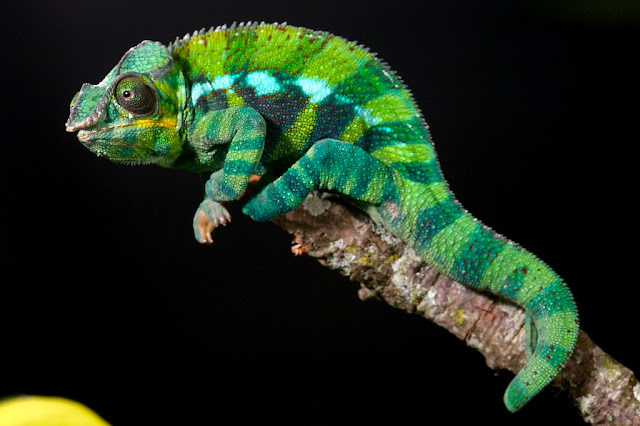 Cute Baby Gecos Wallpaper Beautiful And Colorful Panther Chameleon Pictures