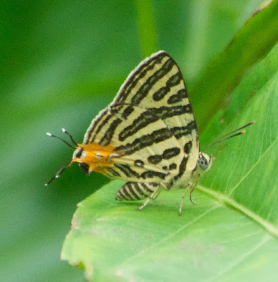 Club Silverline (Spindasis syama terana)