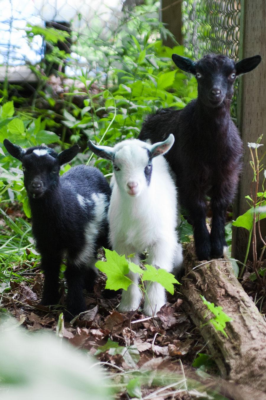 A Goat S Journey Over Life S: Black Dog Barnyard: Goats