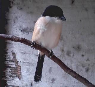 Burung Cendet - Penyakit Snot atau Coryza yang Menyerang Burung Cendet dan Cara Penangannannya - Penangkaran Burung Cendet