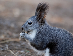 Esquilo Azul
