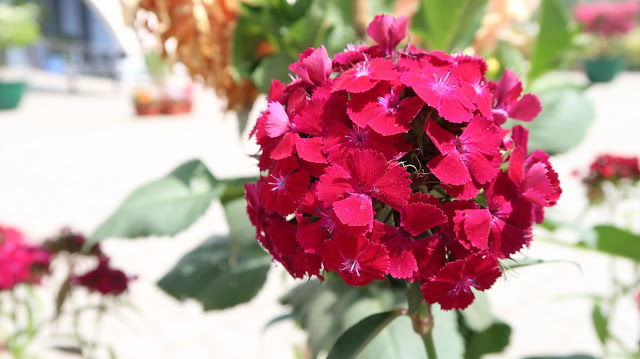 beautiful-flowers-roses