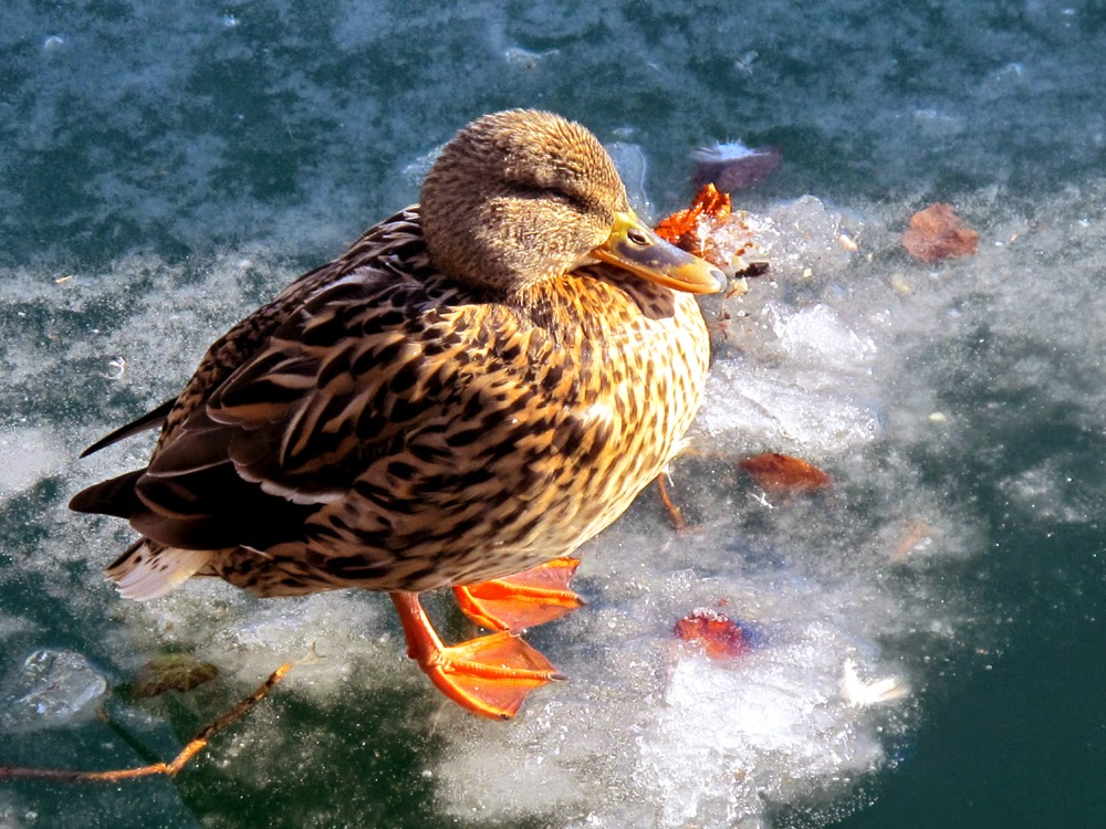 Duck on the frozen lake in Zell am See, Austria