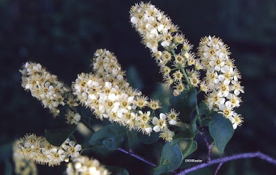 chokecherry Prunus virginiana flowers