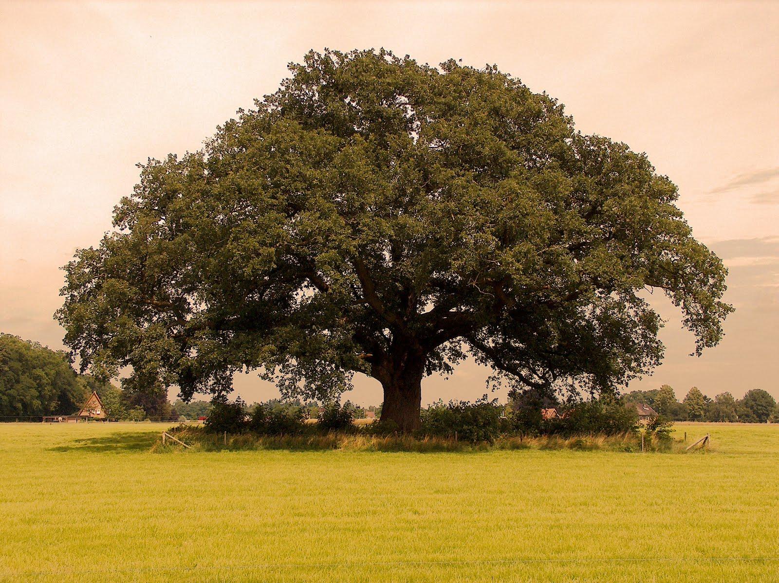 фото крупных деревьев садах камней