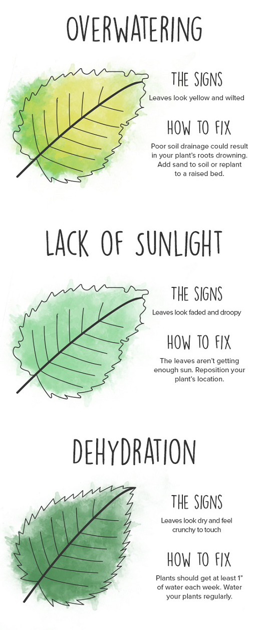 infographic2 Leaves On House Plant Yellow Then Brown on spider mites on house plants, yellow leaves on strawberry plants, brown spots on house plants, brown tips on house plants, aphids on house plants, leaf drop on house plants, bugs on house plants, yellow leaves on tomato plants, dropping leaves on house plants, browning leaves on house plants,