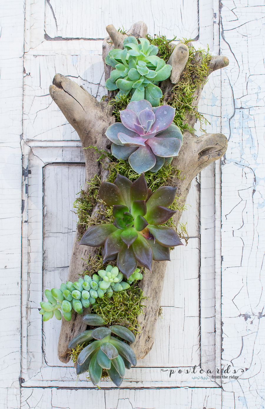 succulents in a diy driftwood planter