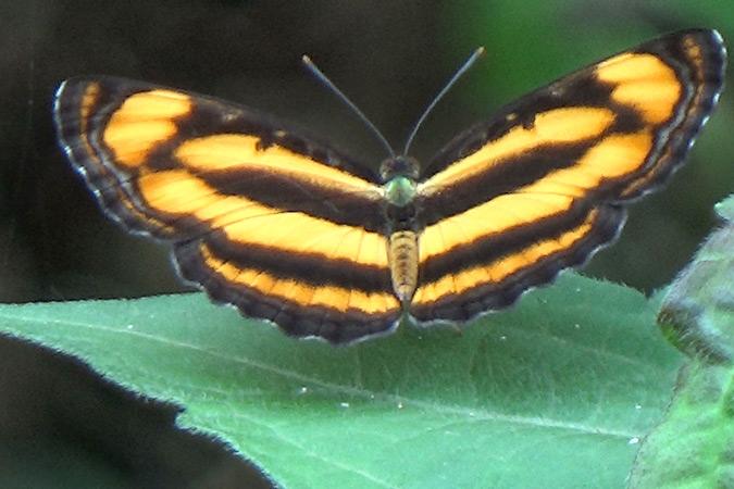 Dlium Common lascar (Pantoporia hordonia)