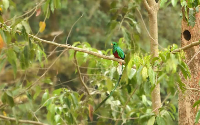 Costa Rica Birds: Quetzal by Paradise Catchers