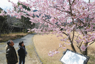 ごんべえ桜見ごろ 河津桜