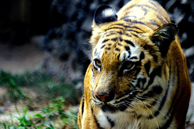 Tigers of Sunderbans
