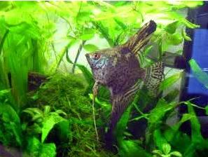 Inilah Jenis-Jenis Ikan Manfish/(Angelfish) Leopard