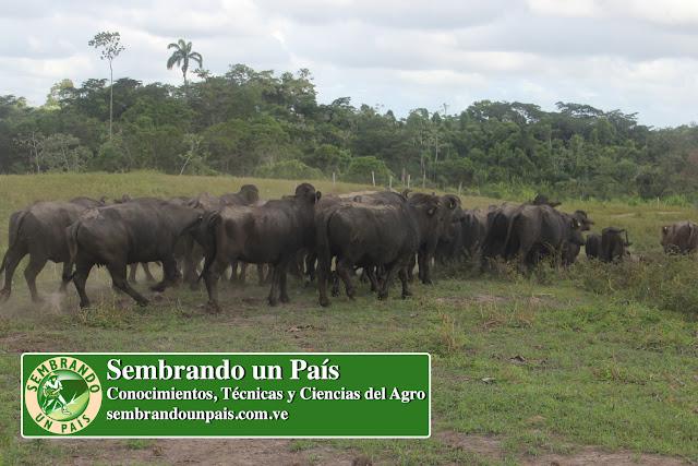 ganado bufalino