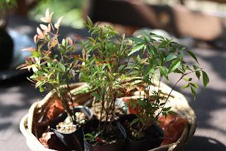 苔玉の苗 ハゼノキ、ナンテン