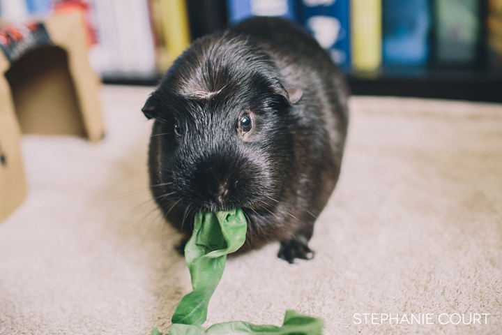 guinea pigs snacking on basil