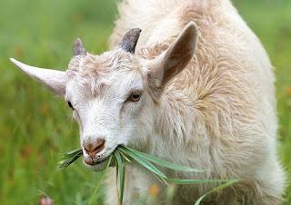 kata - kata promosi jual kambing qurban