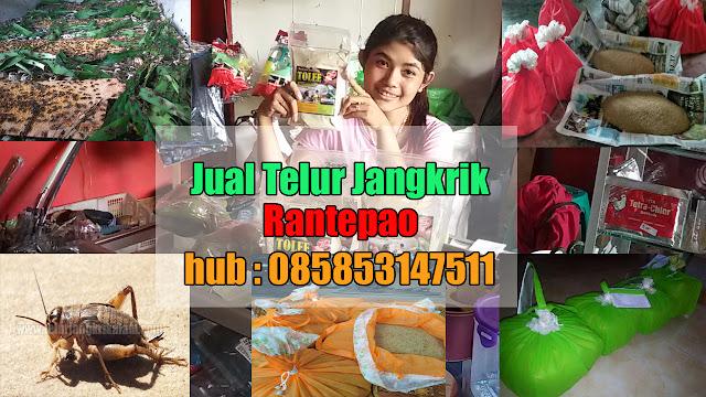 Jual Telur Jangkrik Rantepao Hubungi 085853147511