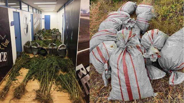 25χρονος αλλοδαπός με 79 δενδρύλια και 50 κιλά κάνναβη στα Κύθηρα