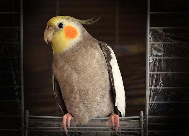 The Benefits of Pet Bird Insurance