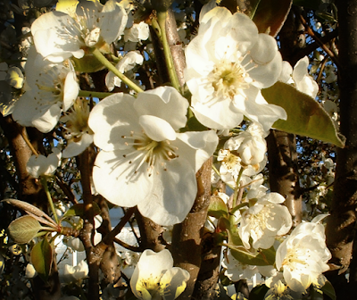 pretty white spring pear blossoms